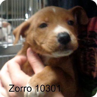 German Shepherd Dog/Boxer Mix Puppy for adoption in Manassas, Virginia - Zorro