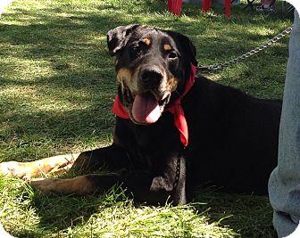 Rottweiler/Labrador Retriever Mix Dog for adoption in Palatine, Illinois - Duncan