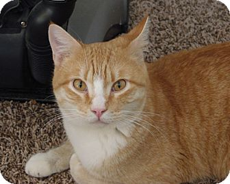 Domestic Shorthair Cat for adoption in Huntsville, Alabama - McGregor