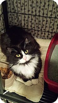 Domestic Longhair Cat for adoption in Cedar Springs, Michigan - Sylvester