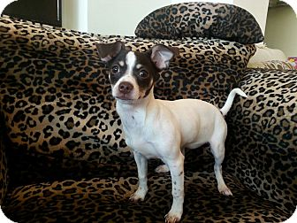 Jack Russell Terrier/Terrier (Unknown Type, Small) Mix Puppy for adoption in Valencia, California - Butters