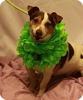 Jack Russell Terrier Mix Dog for adoption in Twin Falls, Idaho - Indie