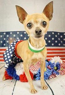 Chihuahua Mix Dog for adoption in Scottsdale, Arizona - Feenie