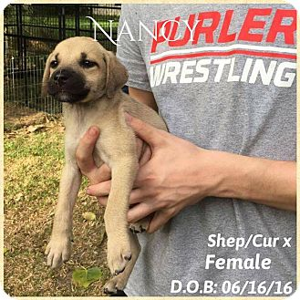 Shepherd (Unknown Type)/Black Mouth Cur Mix Puppy for adoption in DeForest, Wisconsin - nancy