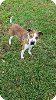 Pit Bull Terrier Mix Dog for adoption in Indianola, Iowa - Chewy