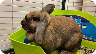 Mini Lop Mix for adoption in Chambersburg, Pennsylvania - Daisy