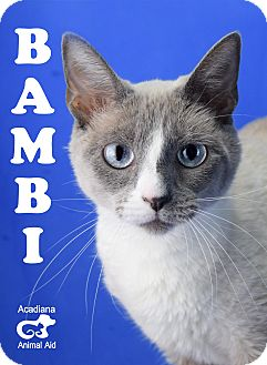 Siamese Cat for adoption in Carencro, Louisiana - Bambi