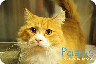 Domestic Mediumhair Cat for adoption in Hamilton, Ontario - Ploaris