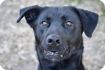 Shepherd (Unknown Type)/Labrador Retriever Mix Dog for adoption in Fort Riley, Kansas - Geronimo