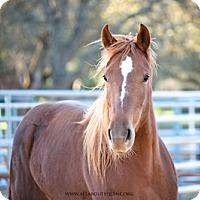 Adopt A Pet :: Maci - El Dorado Hills, CA