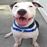 Pit Bull Terrier Dog for adoption in Alameda, California - COOKIE LYON