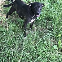 American Bulldog Dog for adoption in Jackson, Mississippi - Khaula