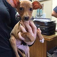 Adopt A Pet :: Delilah - Fair Oaks Ranch, TX
