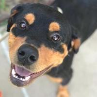 Rottweiler Mix Dog for adoption in Memphis, Tennessee - Gamora