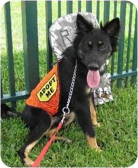 Collie/Sheltie, Shetland Sheepdog Mix Dog for adoption in Homestead, Florida - CL Tucker Boy