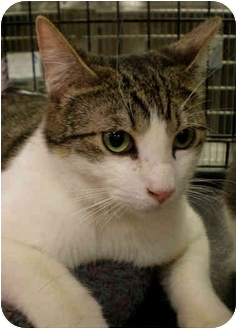 Domestic Shorthair Cat for adoption in Yorba Linda, California - Nathaniel