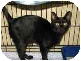 Domestic Shorthair Cat for adoption in Columbiaville, Michigan - Vanessa
