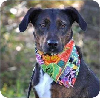 Catahoula Leopard Dog/Terrier (Unknown Type, Small) Mix Dog for adoption in Portsmouth, Rhode Island - Belle