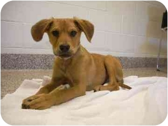 Plott Hound Mix Puppy for adoption in North Charleston, South Carolina - Bubba