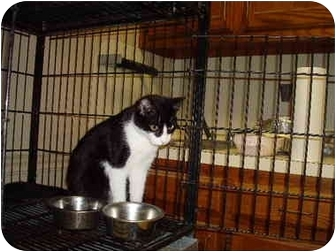 Domestic Shorthair Cat for adoption in Baton Rouge, Louisiana - Judy