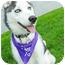 Photo 2 - Husky Puppy for adoption in Detroit, Michigan - Leo