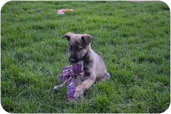 German Shepherd Dog Mix Puppy for adoption in Xenia, Ohio - Toby
