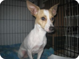 Chihuahua/Dachshund Mix Dog for adoption in San Antonio, Texas - Buster