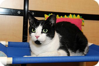 Domestic Shorthair Cat for adoption in Farmingdale, New York - Domino