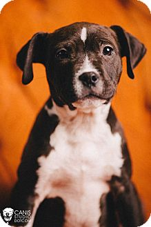 Pit Bull Terrier Puppy for adoption in Portland, Oregon - Sidney