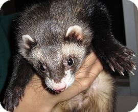 Ferret for adoption in Houston, Texas - 4 Ferrets
