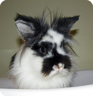 Lionhead Mix for adoption in North Gower, Ontario - Muppet