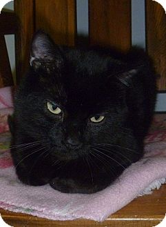 Domestic Shorthair Cat for adoption in Hamburg, New York - Sneaky