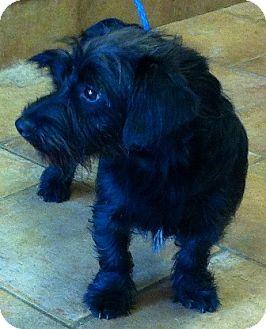 Scottie, Scottish Terrier Mix Puppy for adoption in Oswego, Illinois - I'M ADPTD Maxwell Swny Pomatto