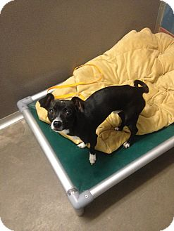 Chihuahua Mix Dog for adoption in Gardnerville, Nevada - Maxwell