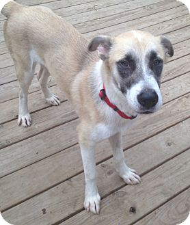 Anatolian Shepherd Mix Dog for adoption in waterbury, Connecticut - Opie