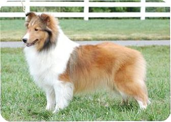 Sheltie, Shetland Sheepdog Dog for adoption in Alderson, West Virginia - Jill
