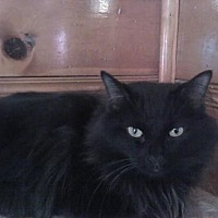 Domestic Longhair Cat for adoption in Sherman Oaks, California - Mackie - sponsor only