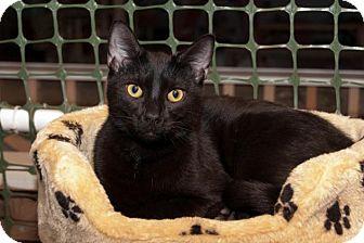 Domestic Shorthair Cat for adoption in Waynesville, North Carolina - Ninja