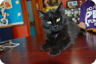 Domestic Mediumhair Cat for adoption in North Judson, Indiana - Lavinia
