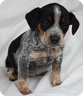 Dachshund/Australian Shepherd Mix Puppy for adoption in SUSSEX, New Jersey - Joy (2.5 lb) Unique Pup!