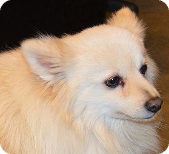Pomeranian Dog for adoption in Prole, Iowa - Grant