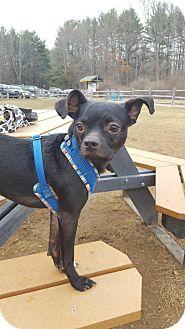 Boston Terrier/Italian Greyhound Mix Dog for adoption in Newtown, Connecticut - Ernie