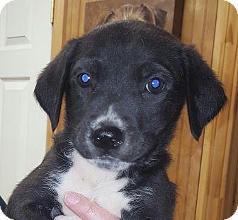 Labrador Retriever/Border Collie Mix Puppy for adoption in Westport, Connecticut - Foster