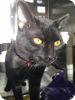 Domestic Shorthair Cat for adoption in Chicago, Illinois - Dan Ryan (read his story!)