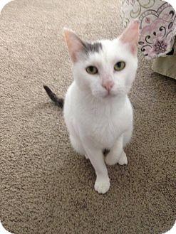 Domestic Shorthair Cat for adoption in Temecula, California - Izzy