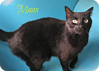 Domestic Shorthair Cat for adoption in West Des Moines, Iowa - Maax