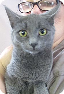 Russian Blue Kitten for adoption in Reeds Spring, Missouri - Kelley