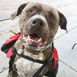 Mastiff/Pit Bull Terrier Mix Dog for adoption in Tracy, California - Roscoe