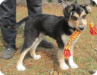 Golden Retriever/German Shepherd Dog Mix Dog for adoption in Murrells Inlet, South Carolina - Nysa's Puppy Lil Boss