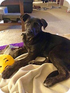 Shepherd (Unknown Type) Mix Puppy for adoption in Prior Lake, Minnesota - Gracie